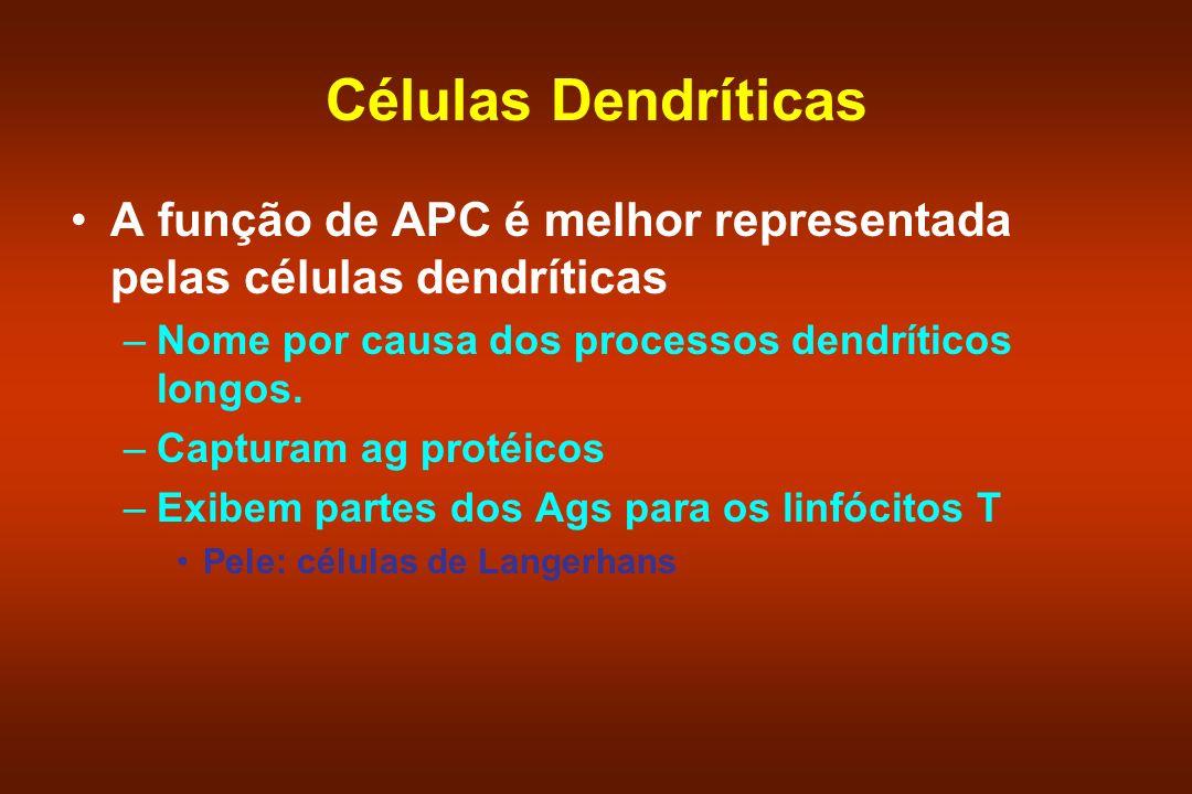 Células Dendríticas A função de APC é melhor representada pelas células dendríticas –Nome por causa dos processos dendríticos longos. –Capturam ag pro