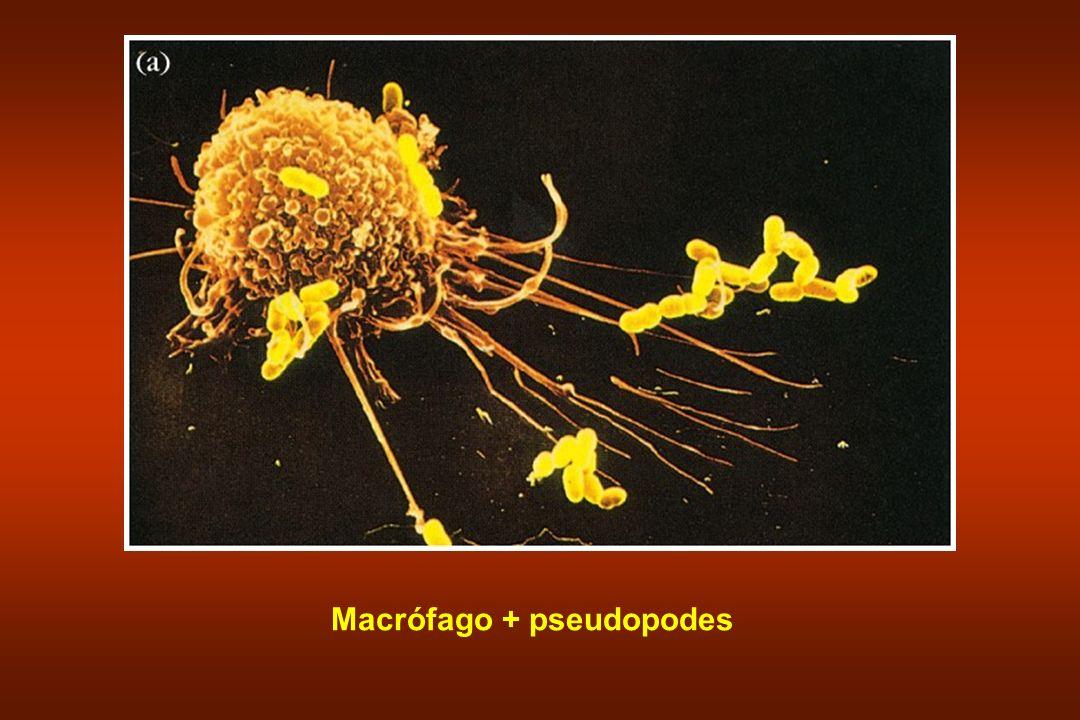 Macrófago + pseudopodes