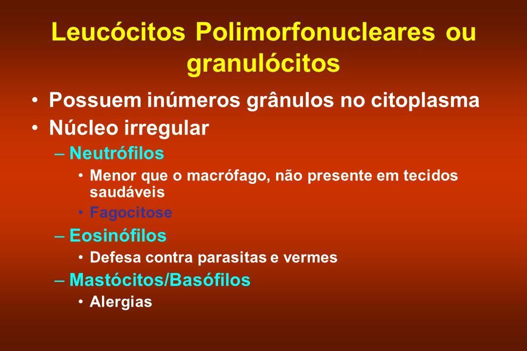 Leucócitos Polimorfonucleares ou granulócitos Possuem inúmeros grânulos no citoplasma Núcleo irregular –Neutrófilos Menor que o macrófago, não present