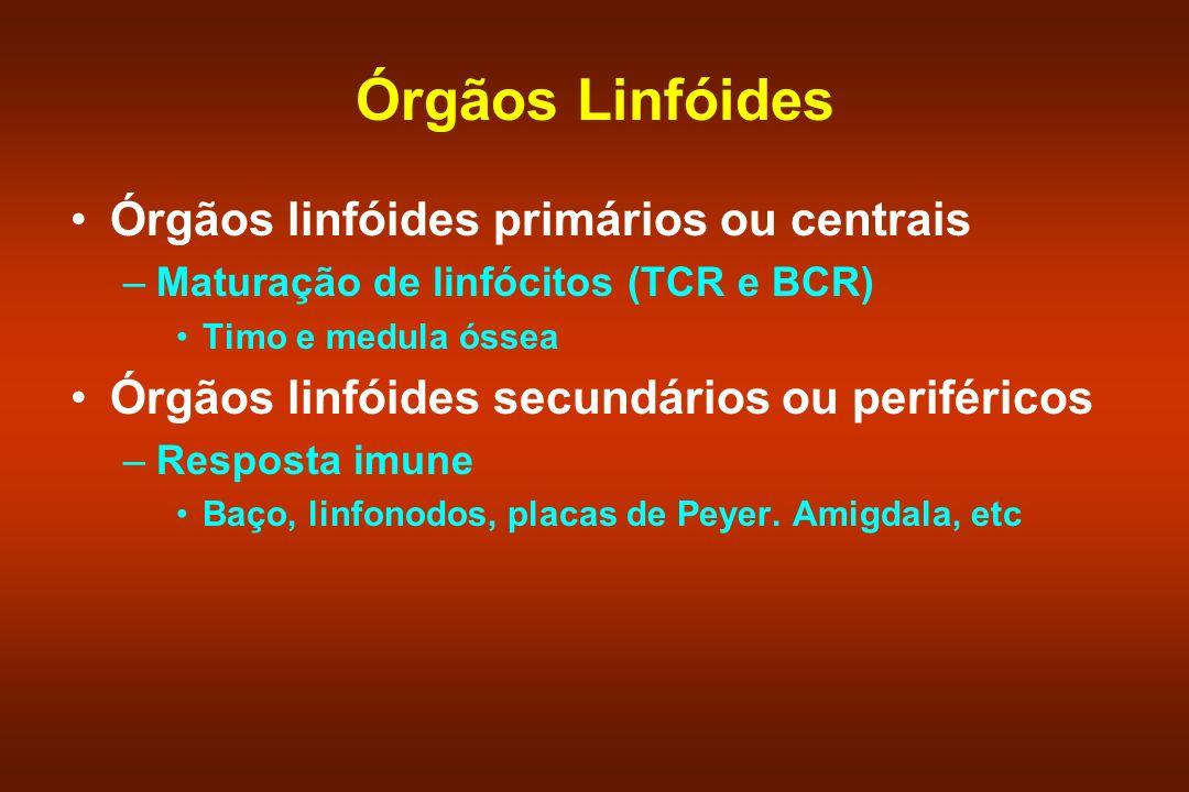 Órgãos Linfóides Órgãos linfóides primários ou centrais –Maturação de linfócitos (TCR e BCR) Timo e medula óssea Órgãos linfóides secundários ou perif
