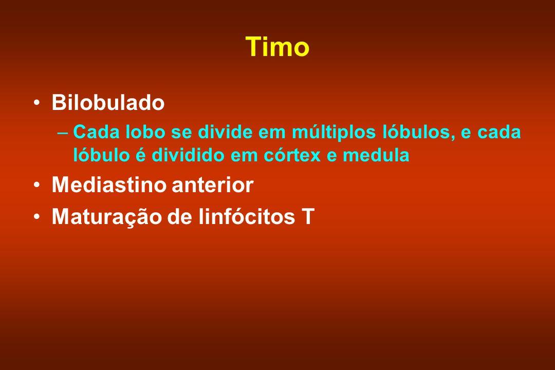Timo Bilobulado –Cada lobo se divide em múltiplos lóbulos, e cada lóbulo é dividido em córtex e medula Mediastino anterior Maturação de linfócitos T