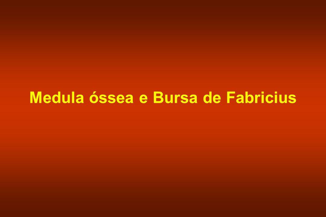 Medula óssea e Bursa de Fabricius
