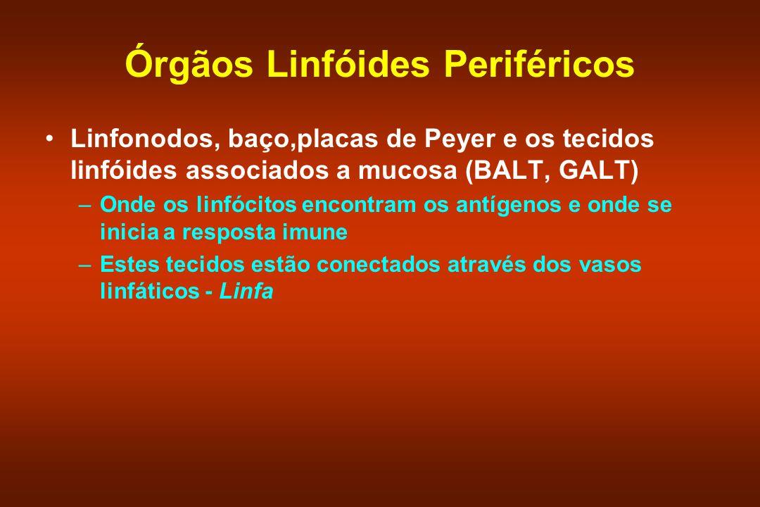 Órgãos Linfóides Periféricos Linfonodos, baço,placas de Peyer e os tecidos linfóides associados a mucosa (BALT, GALT) –Onde os linfócitos encontram os