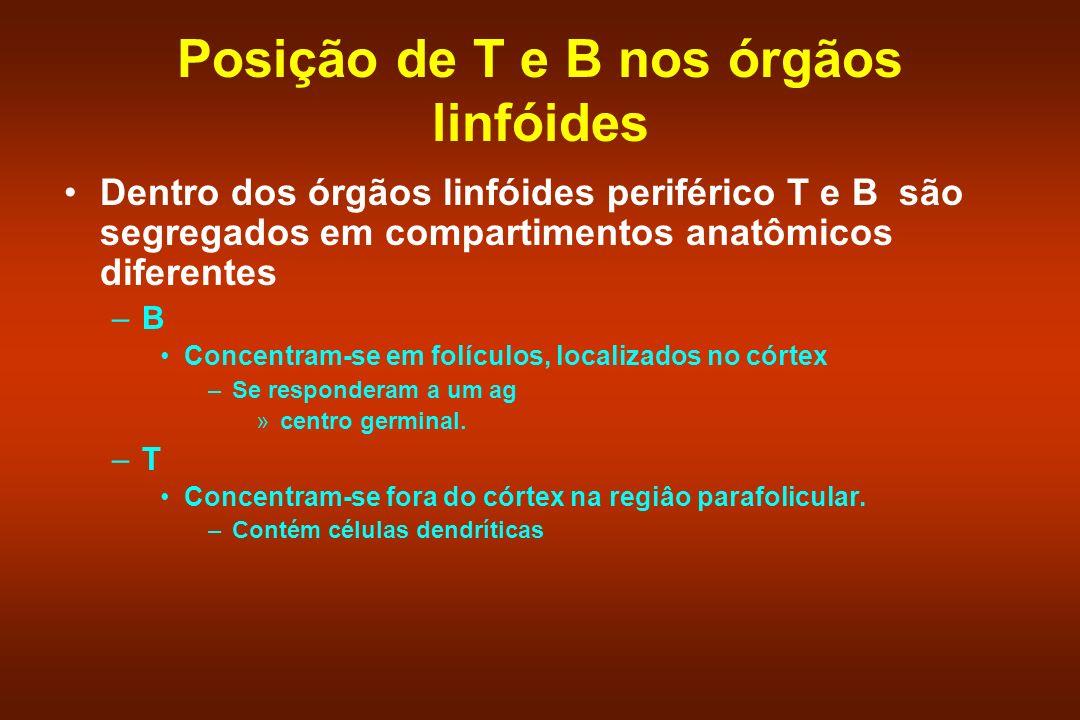 Posição de T e B nos órgãos linfóides Dentro dos órgãos linfóides periférico T e B são segregados em compartimentos anatômicos diferentes –B Concentra