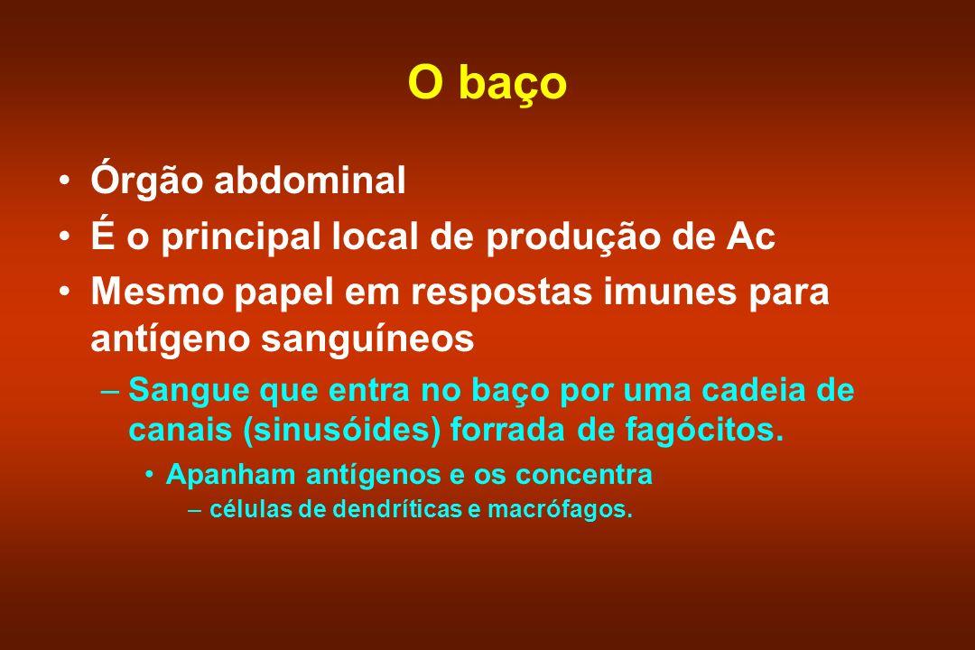 O baço Órgão abdominal É o principal local de produção de Ac Mesmo papel em respostas imunes para antígeno sanguíneos –Sangue que entra no baço por um