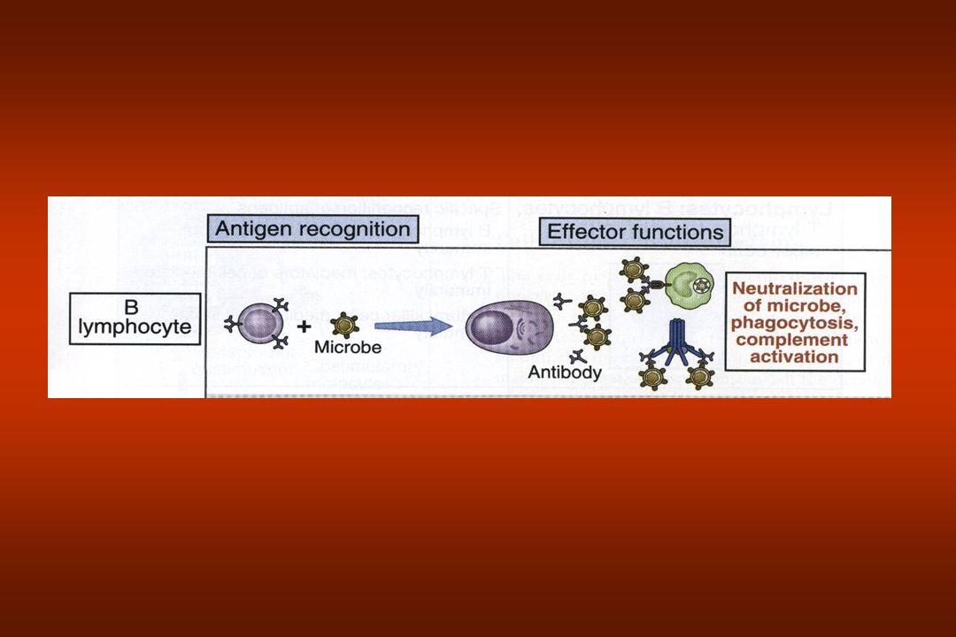 Linfócito T Imunidade Celular –Receptores reconhecem fragmentos de peptídeos de ag Ligados a major histocompatibility complex (MHC) ou complexo de histocompatibilidade principal (MHC).