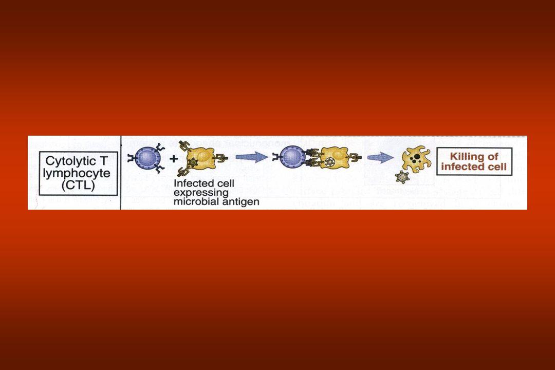 O baço Órgão abdominal É o principal local de produção de Ac Mesmo papel em respostas imunes para antígeno sanguíneos –Sangue que entra no baço por uma cadeia de canais (sinusóides) forrada de fagócitos.