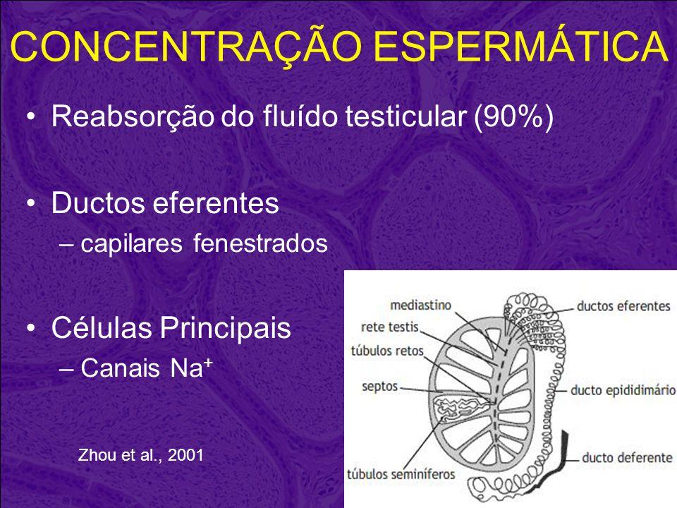 CONCENTRAÇÃO ESPERMÁTICA Reabsorção do fluído testicular (90%) Ductos eferentes –capilares fenestrados Células Principais –Canais Na + Zhou et al., 20