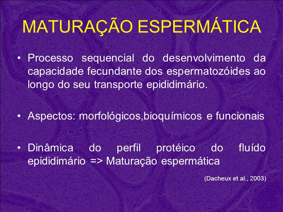 MATURAÇÃO ESPERMÁTICA Processo sequencial do desenvolvimento da capacidade fecundante dos espermatozóides ao longo do seu transporte epididimário. Asp