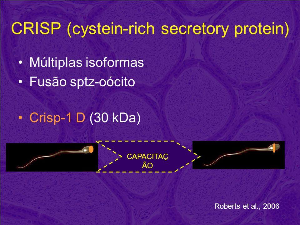CRISP (cystein-rich secretory protein) Múltiplas isoformas Fusão sptz-oócito Crisp-1 D (30 kDa) CAPACITAÇ ÃO Roberts et al., 2006
