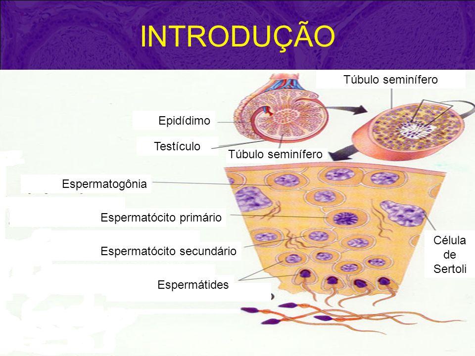 EPIDÍDIMO É um orgão delgado que se estende entre os polos do testículo ao longo de sua borda medial, e possui em seu interior um ducto longo e enovelado circundado por uma camada de células musculares lisas.