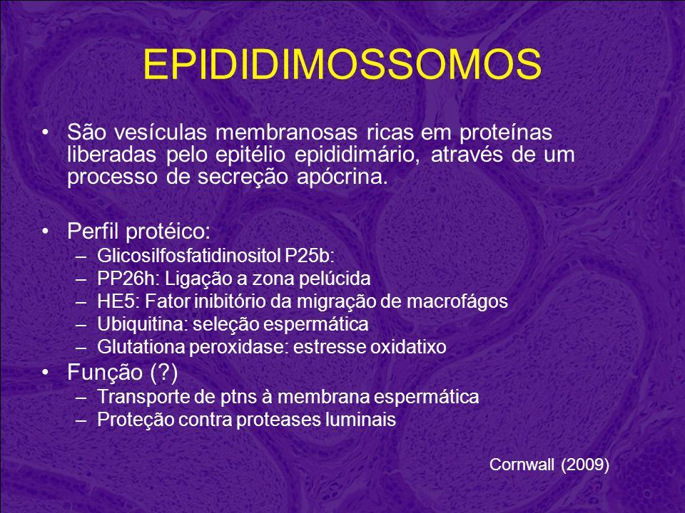 EPIDIDIMOSSOMOS São vesículas membranosas ricas em proteínas liberadas pelo epitélio epididimário, através de um processo de secreção apócrina. Perfil