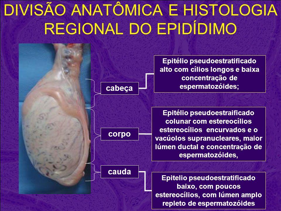 DIVISÃO ANATÔMICA E HISTOLOGIA REGIONAL DO EPIDÍDIMO cabeça corpo cauda Epitelio pseudoestratificado baixo, com poucos estereocílios, com lúmen amplo