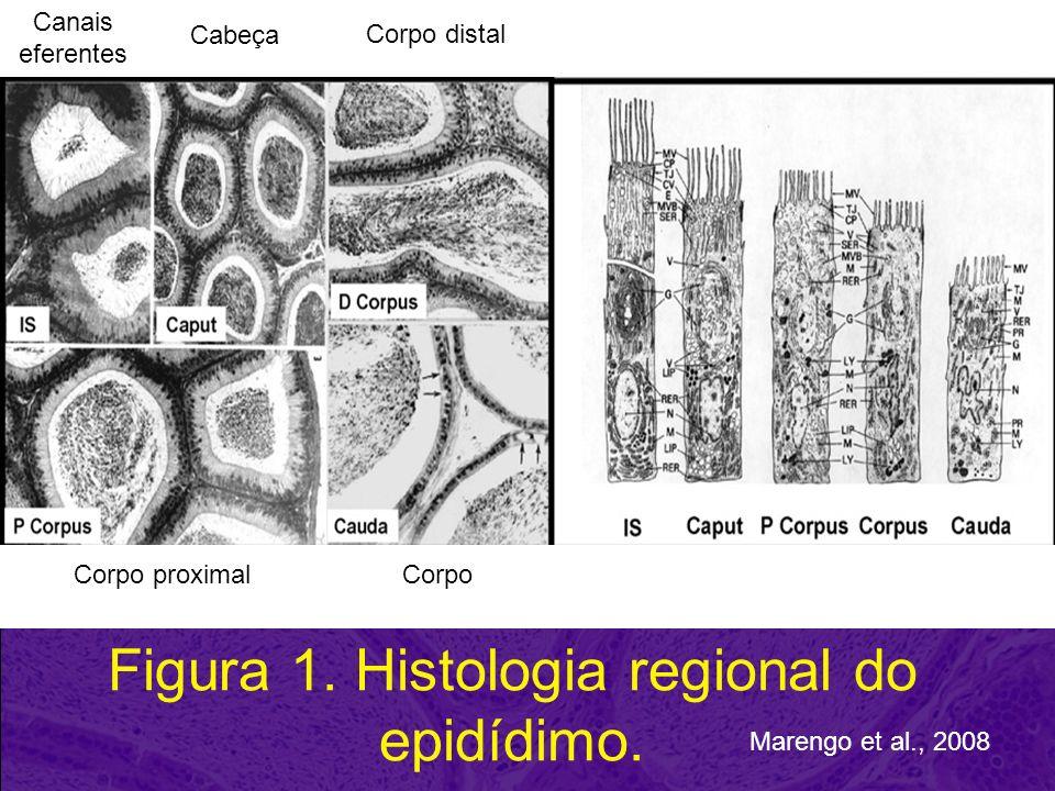PROTEÍNAS EPIDIDIMÁRIAS Osteopontina Manosidase e Galactosidase Lactoferrina –Defesa; (+ garanhões) α-L-fucosidase –Modificações carbohidratos de ptns de membrana Catepsina D (peptidase) Prostaglandina d sintetase (PGDS) –Interação com ptns hidrofóbicas, hormônios (T4) NCP2 (HE1, CTP, Proteína transportadora de colesterol) –Estabilidade da membrana espermática GPX (glutationa peroxidase): –estresse oxidativo beta-N-acetil-hexosaminidase, –Interação sptz-zp PGDS (prostaglandin D2 synthase), E-RAPB (epididymal retinoic acid-binding protein).
