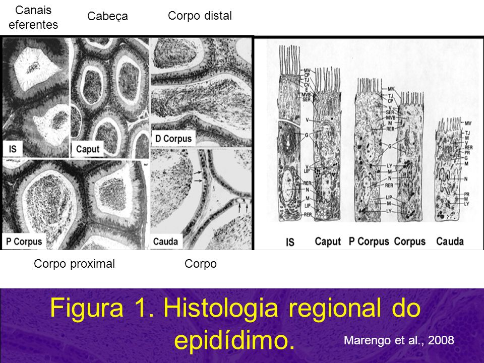 Figura 1. Histologia regional do epidídimo. Marengo et al., 2008 Canais eferentes Cabeça Corpo distal Corpo proximalCorpo