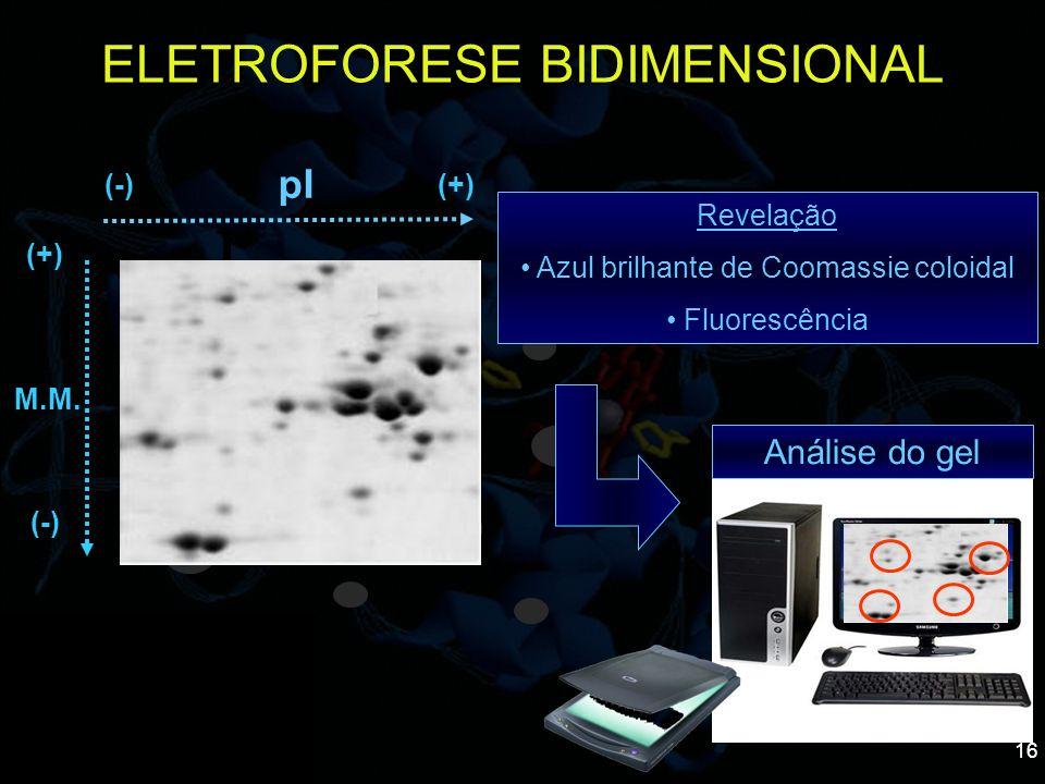 16 ELETROFORESE BIDIMENSIONAL (+) (-) M.M. Revelação Azul brilhante de Coomassie coloidal Fluorescência pI (+)(-) Análise do gel