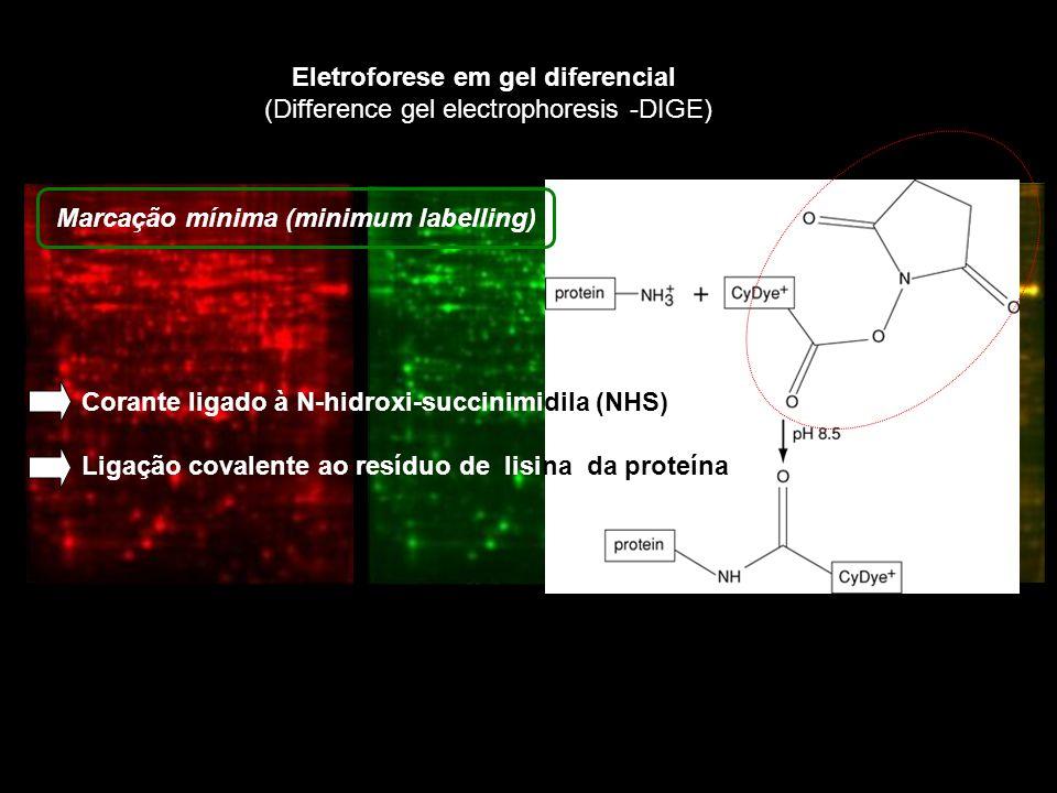 Eletroforese em gel diferencial (Difference gel electrophoresis -DIGE) Corante ligado à N-hidroxi-succinimidila (NHS) Ligação covalente ao resíduo de lisina da proteína Marcação mínima (minimum labelling)