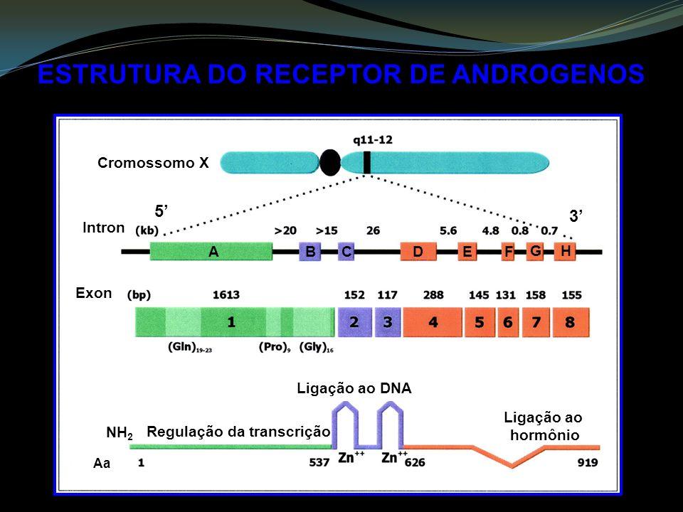 ESTRUTURA DO RECEPTOR DE ANDROGENOS A B CDEF GH Regulação da transcrição Ligação ao DNA Ligação ao hormônio Cromossomo X Intron Exon Aa NH 2 5 3