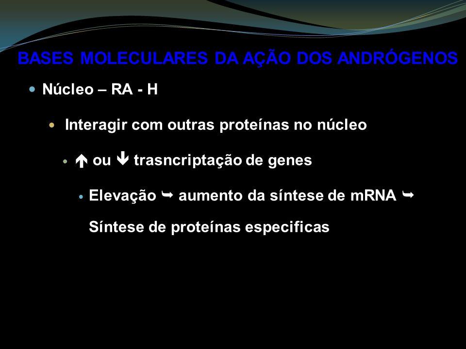 Núcleo – RA - H Interagir com outras proteínas no núcleo ou trasncriptação de genes Elevação aumento da síntese de mRNA Síntese de proteínas especificas BASES MOLECULARES DA AÇÃO DOS ANDRÓGENOS