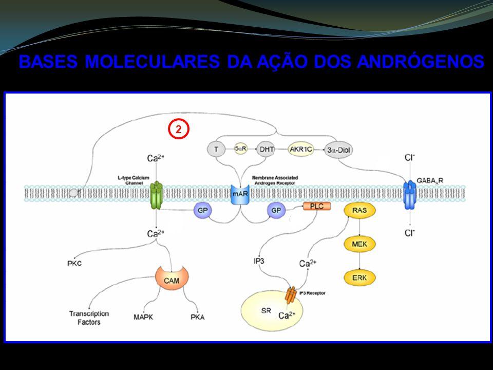 BASES MOLECULARES DA AÇÃO DOS ANDRÓGENOS 2