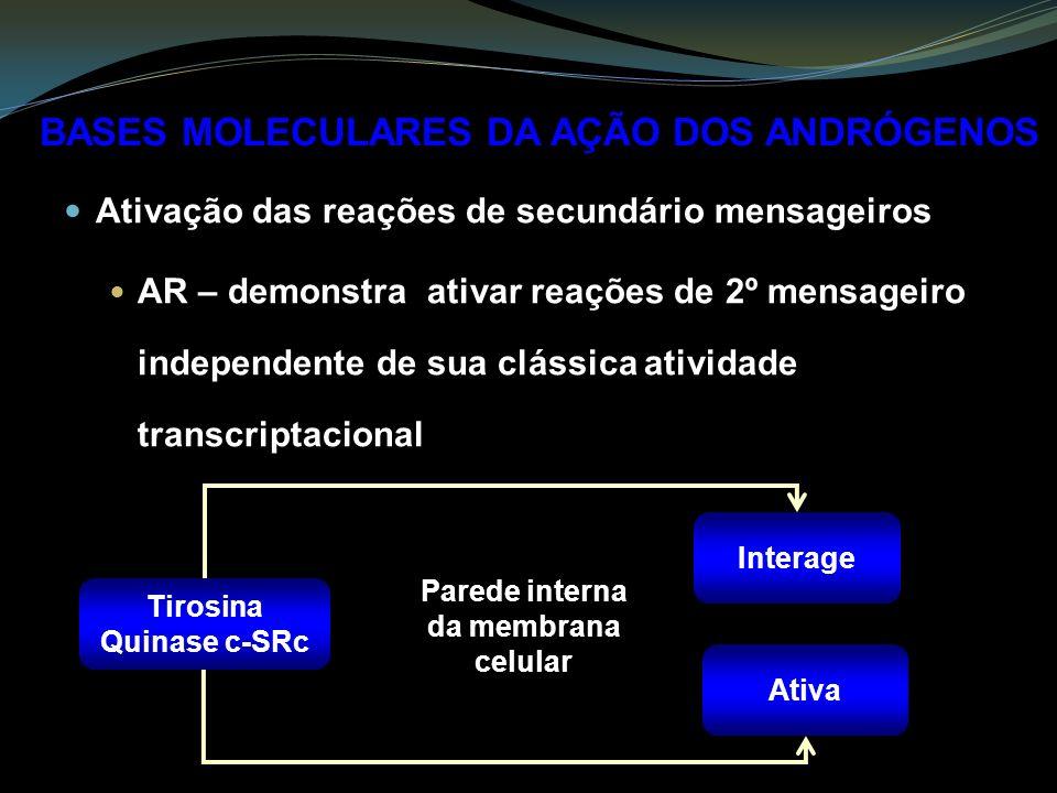 Ativação das reações de secundário mensageiros AR – demonstra ativar reações de 2º mensageiro independente de sua clássica atividade transcriptacional BASES MOLECULARES DA AÇÃO DOS ANDRÓGENOS Interage Ativa Parede interna da membrana celular Tirosina Quinase c-SRc
