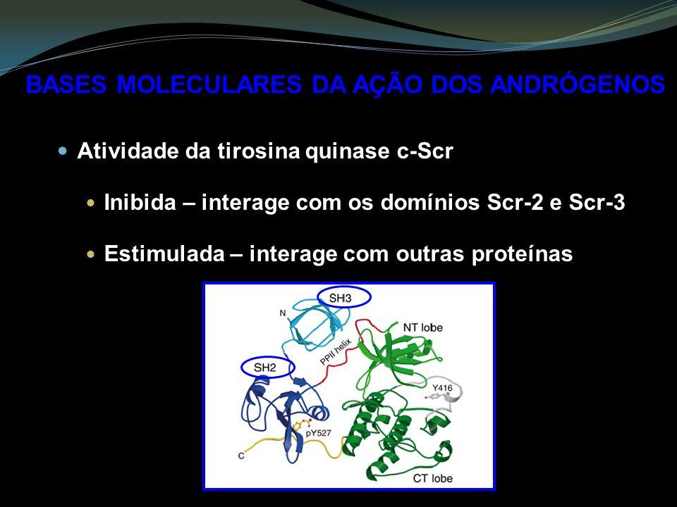 BASES MOLECULARES DA AÇÃO DOS ANDRÓGENOS Atividade da tirosina quinase c-Scr Inibida – interage com os domínios Scr-2 e Scr-3 Estimulada – interage com outras proteínas