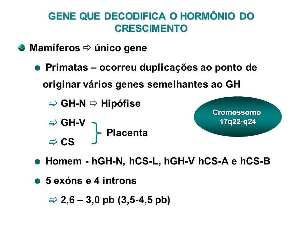 Mamíferos único gene Primatas – ocorreu duplicações ao ponto de originar vários genes semelhantes ao GH GH-N Hipófise GH-V CS Homem - hGH-N, hCS-L, hG