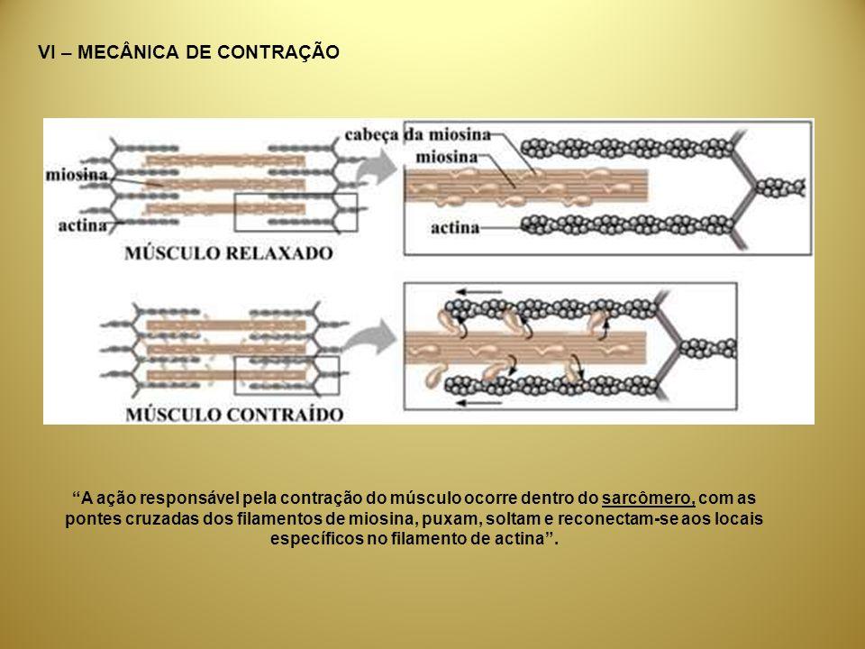 VI – MECÂNICA DE CONTRAÇÃO A ação responsável pela contração do músculo ocorre dentro do sarcômero, com as pontes cruzadas dos filamentos de miosina,