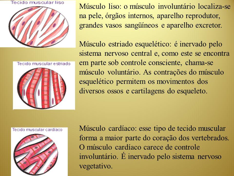 TIPOS DE MÚSCULOS Tecido Muscular Estriados ou Esquelético - Responsáveis pelos movimentos voluntários; Tecido Muscular Liso ou Visceral - (digestão, excreção, etc); involuntários; Músculo Cardíaco ou Miocárdio - Vermelho e estriado, porém, involuntário.