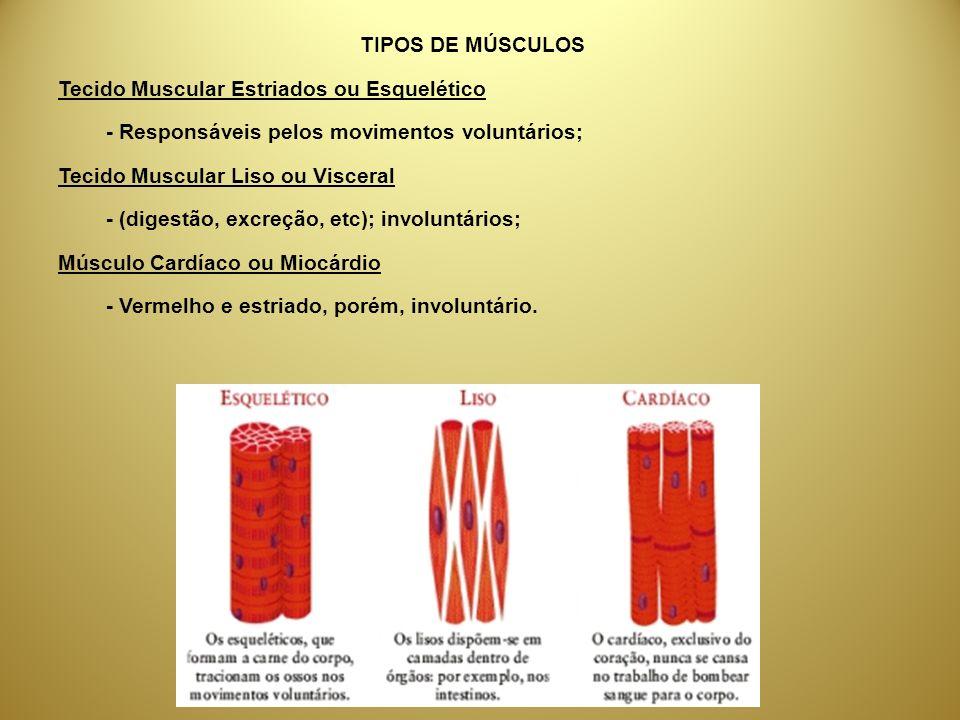 TIPOS DE MÚSCULOS Tecido Muscular Estriados ou Esquelético - Responsáveis pelos movimentos voluntários; Tecido Muscular Liso ou Visceral - (digestão,