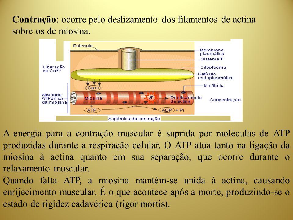 Contração: ocorre pelo deslizamento dos filamentos de actina sobre os de miosina. A energia para a contração muscular é suprida por moléculas de ATP p