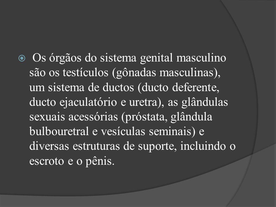 Os órgãos do sistema genital masculino são os testículos (gônadas masculinas), um sistema de ductos (ducto deferente, ducto ejaculatório e uretra), as