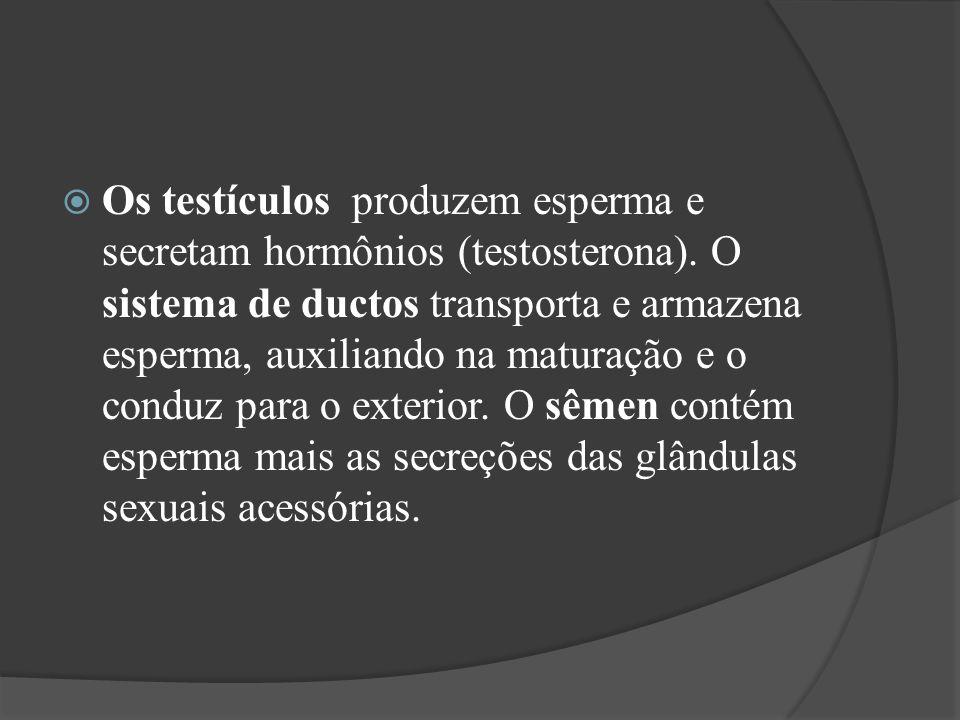 Os testículos produzem esperma e secretam hormônios (testosterona). O sistema de ductos transporta e armazena esperma, auxiliando na maturação e o con