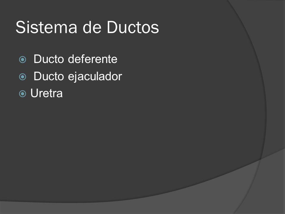 Sistema de Ductos Ducto deferente Ducto ejaculador Uretra