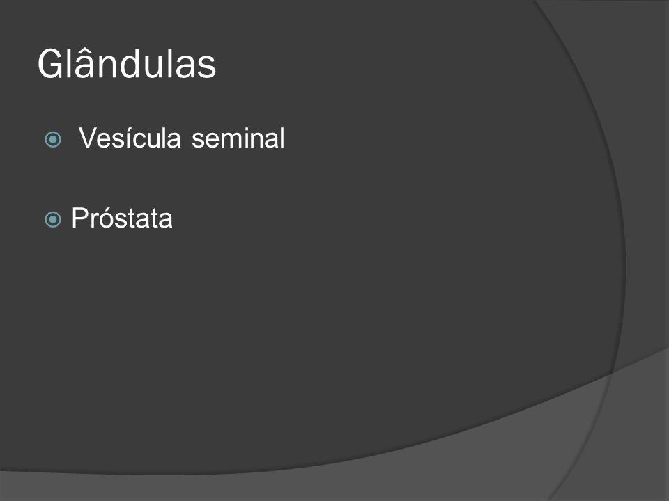 Glândulas Vesícula seminal Próstata