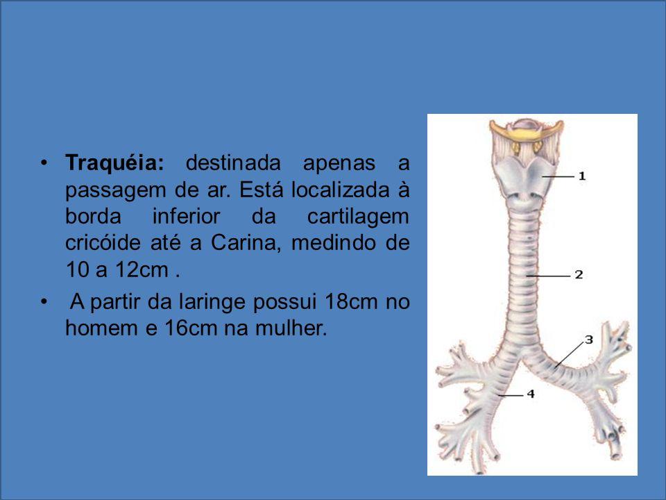 Traquéia: destinada apenas a passagem de ar. Está localizada à borda inferior da cartilagem cricóide até a Carina, medindo de 10 a 12cm. A partir da l