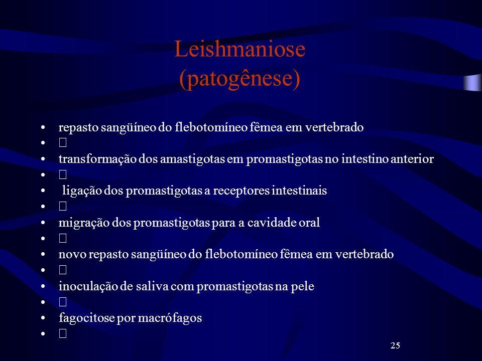 25 Leishmaniose (patogênese) repasto sangüíneo do flebotomíneo fêmea em vertebrado transformação dos amastigotas em promastigotas no intestino anterio
