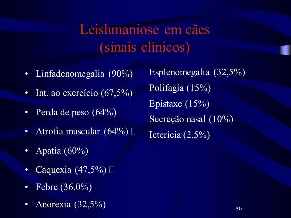 30 Leishmaniose em cães (sinais clínicos) Linfadenomegalia (90%) Int. ao exercício (67,5%) Perda de peso (64%) Atrofia muscular (64%) Apatia (60%) Caq