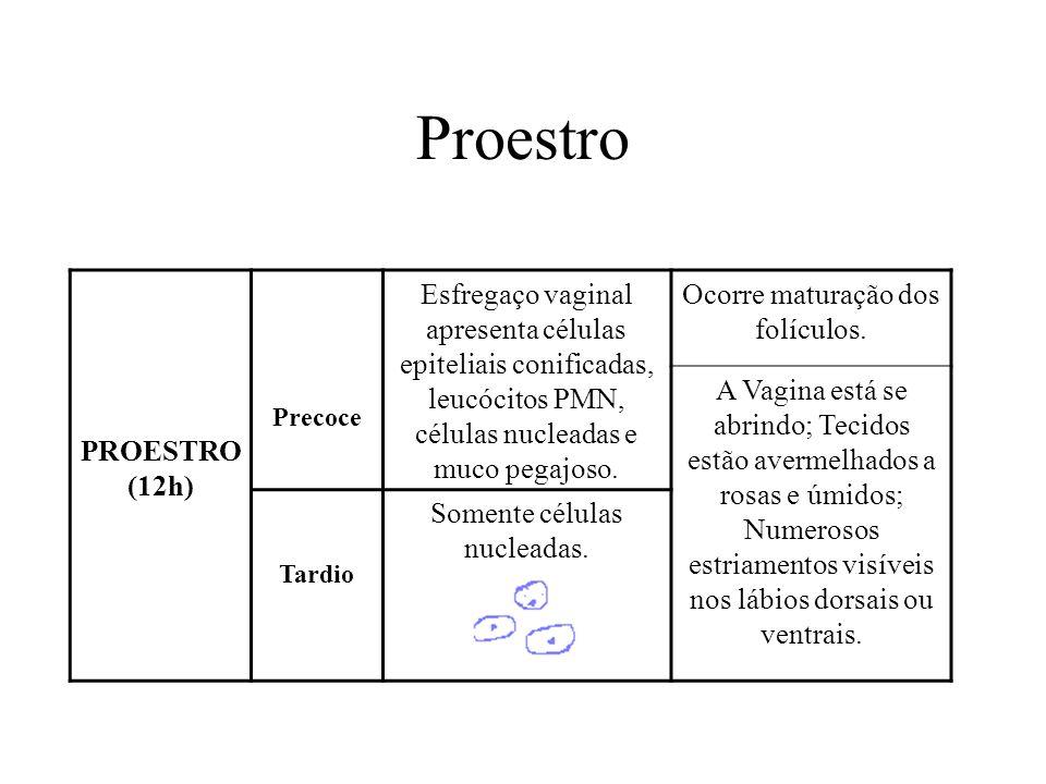 Proestro PROESTRO (12h) Precoce Esfregaço vaginal apresenta células epiteliais conificadas, leucócitos PMN, células nucleadas e muco pegajoso. Ocorre