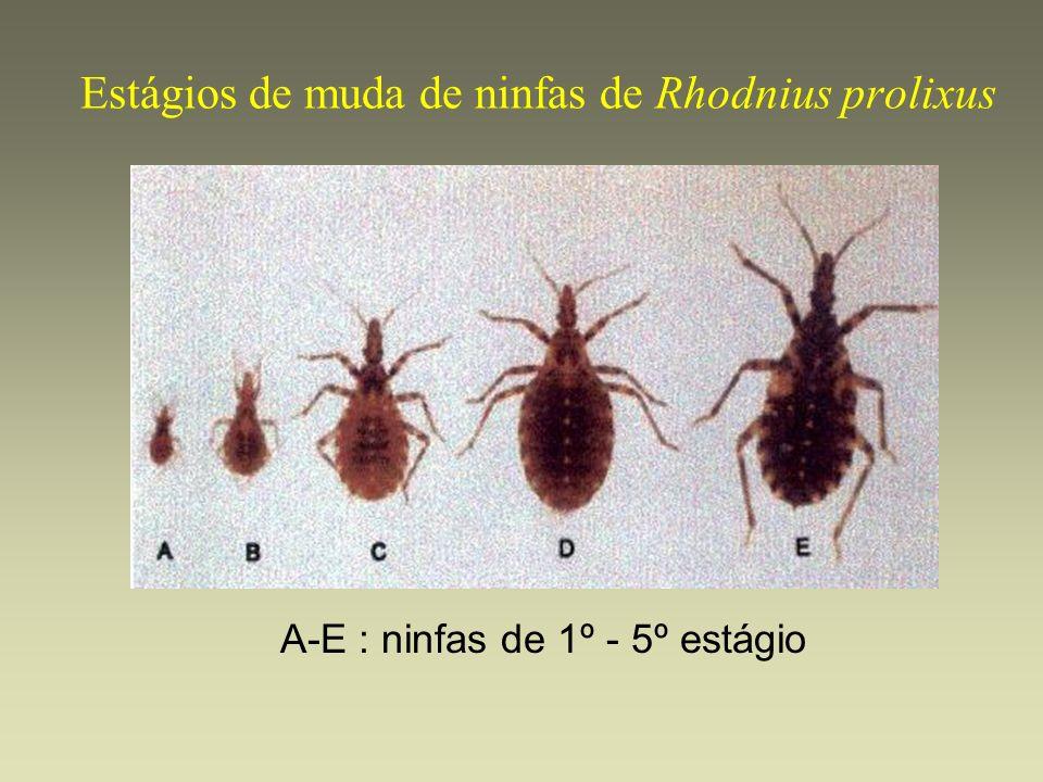 Estágios de muda de ninfas de Rhodnius prolixus A-E : ninfas de 1º - 5º estágio