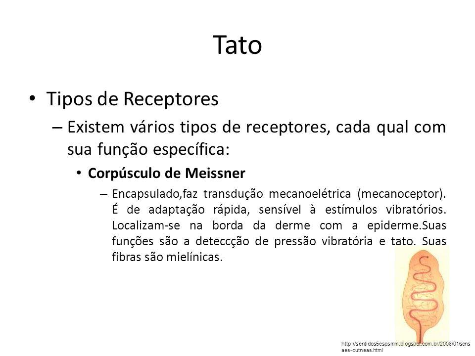 Tato Tipos de Receptores – Existem vários tipos de receptores, cada qual com sua função específica: Corpúsculo de Meissner – Encapsulado,faz transduçã