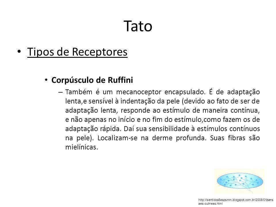 Tato Tipos de Receptores Corpúsculo de Ruffini – Também é um mecanoceptor encapsulado. É de adaptação lenta,e sensível à indentação da pele (devido ao