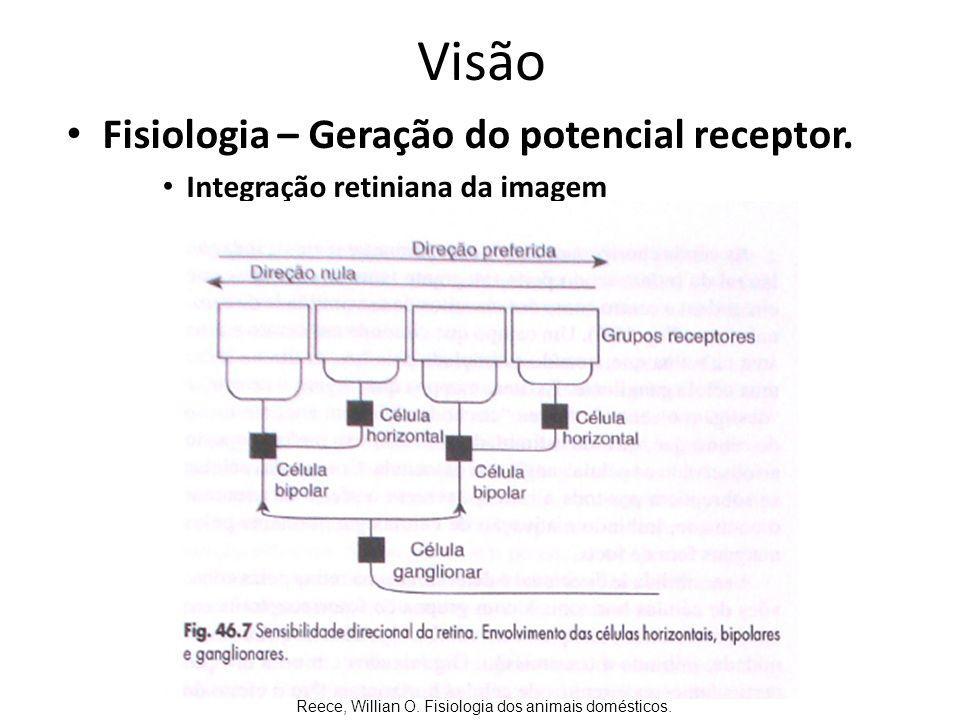 Visão Fisiologia – As vias óticas Células ganglionares quiasma óptico corpos geniculados laterais no tálamo.