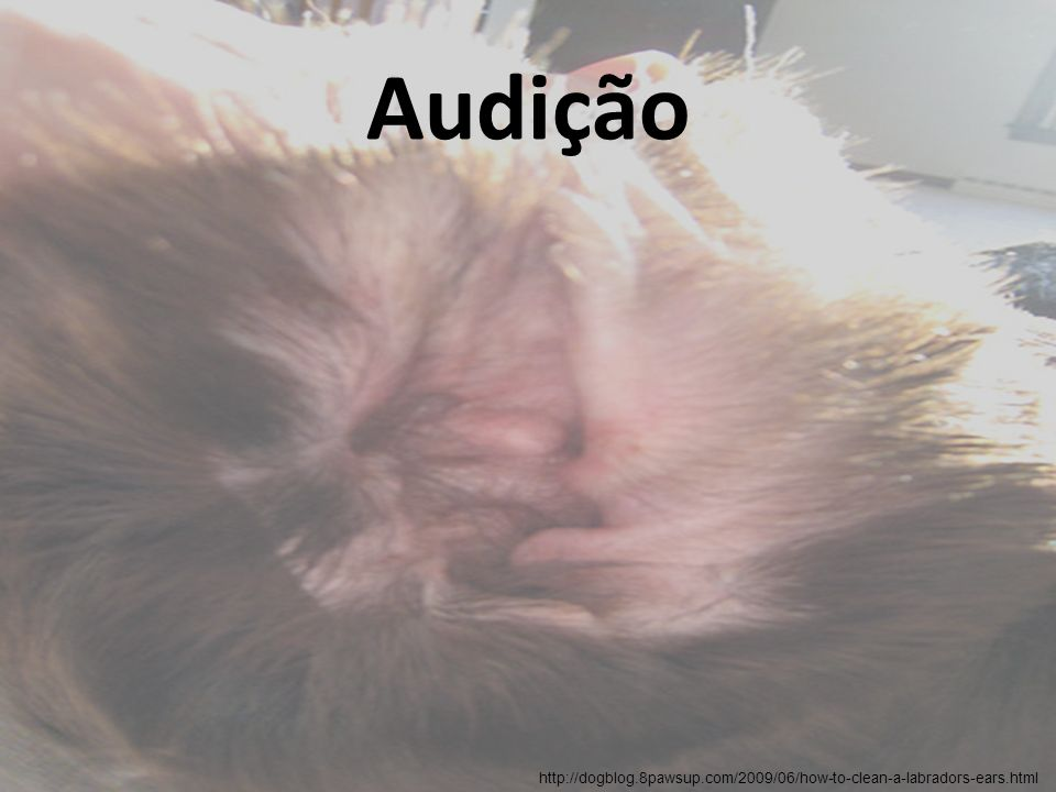Audição Fisiologia – Percepção da localização do som Os animais com surdez unilateral congênita de inicio exibem um déficit na localização da fonte dos sons.