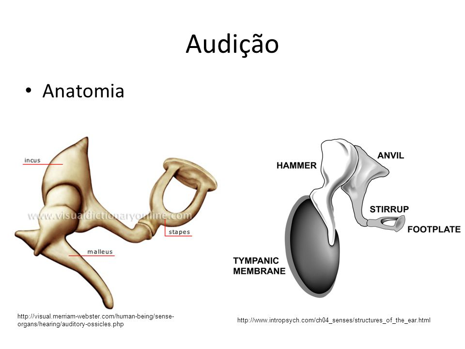 Audição Anatomia http://visual.merriam-webster.com/human-being/sense- organs/hearing/auditory-ossicles.php http://www.intropsych.com/ch04_senses/struc