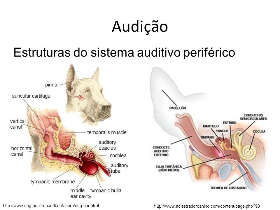 Audição Anatomia – Tuba auditiva (Eustáquio) Equino: possui um divertículo ventral da tuba auditiva, cuja função é incerta, denominada bolsa gutural.