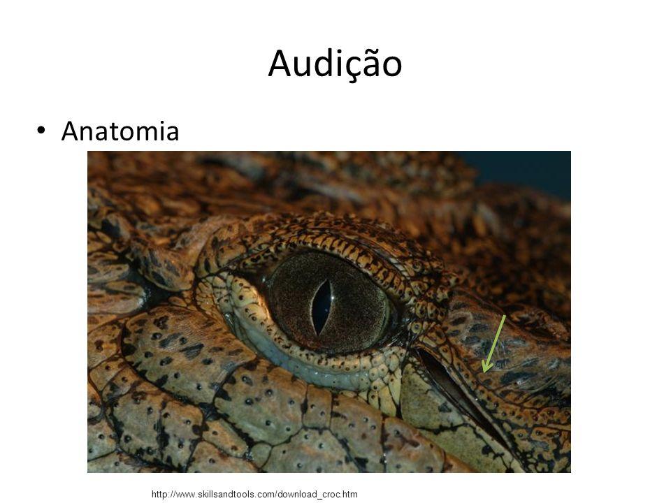 Audição Anatomia – Membrana timpânica (tímpano) Localização: extremidade do meato auditivo externo, separa a orelha externa da média.
