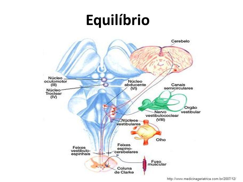 Equilíbrio Fisiologia vestibular – As células pilosas vestibulares têm uma orientação preferida para deflexão.