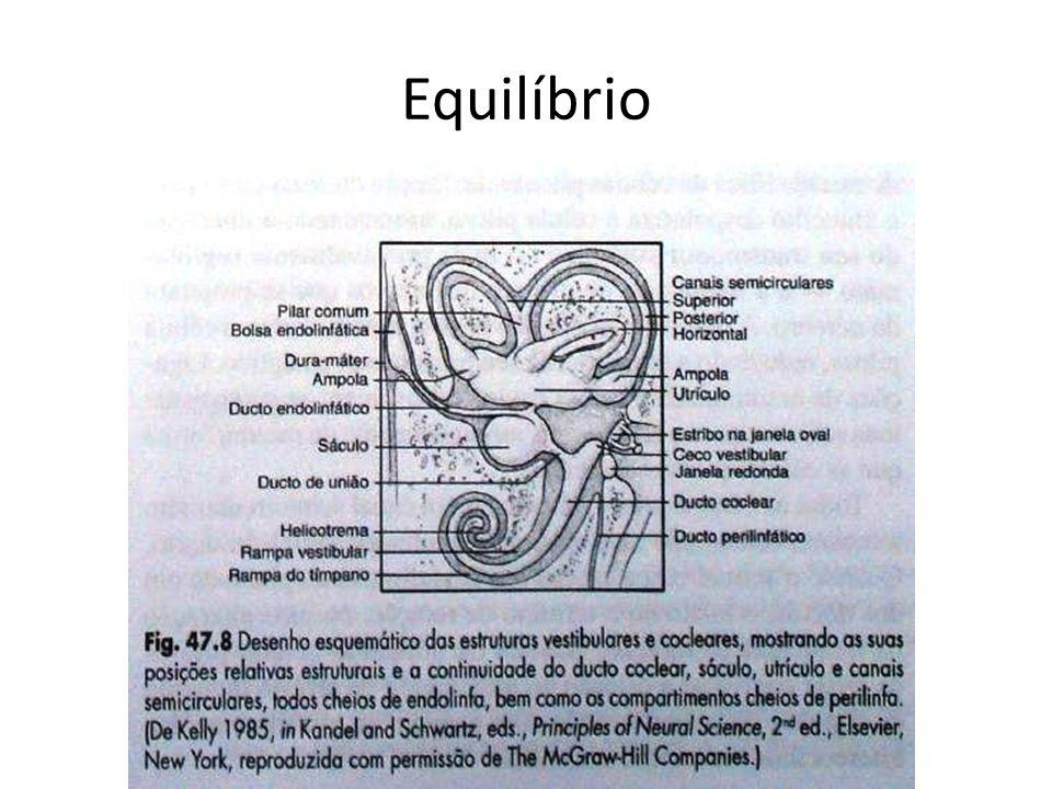 Estrutura do sistema vestibular – As estruturas sensoriais do sistema vestibular estão localizadas nas estruturas chamadas utrículo, sáculo e nos três canais semicirculares.