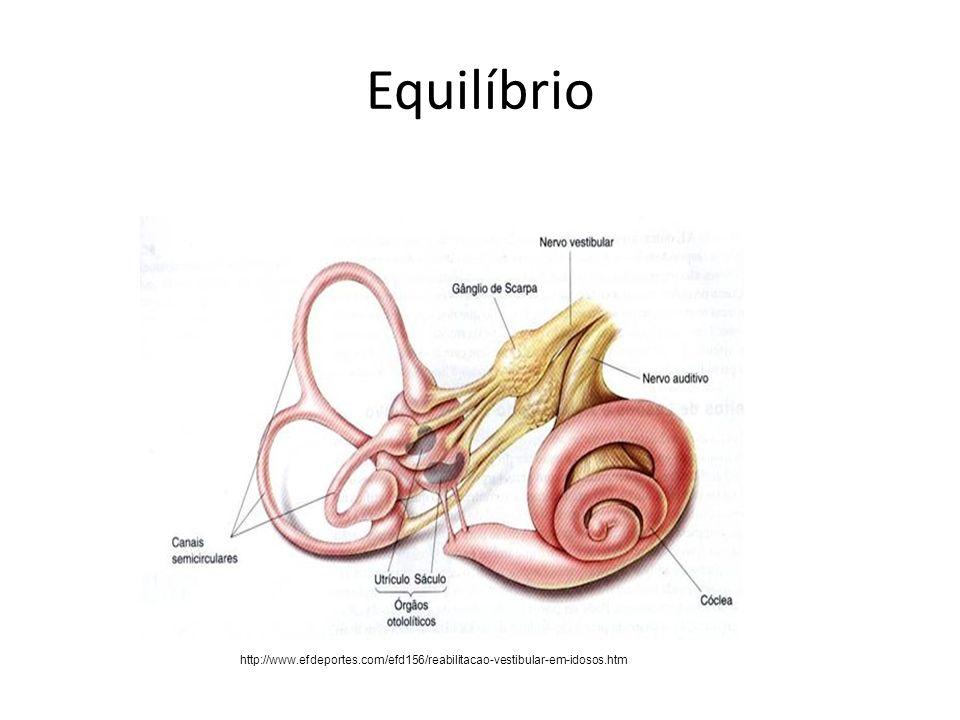 Equilíbrio Vias vestibulares centrais – A informação das células pilosas vestibulares é levada através do gânglio vestibular, cujos axônios unem o ramo auditivo do VIII nervo craniano.